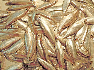 320px-black_sea_sprat_28clupeonella_cultriventris29_-_1