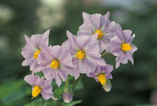 cartof floare