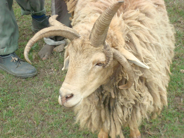 six horned ram